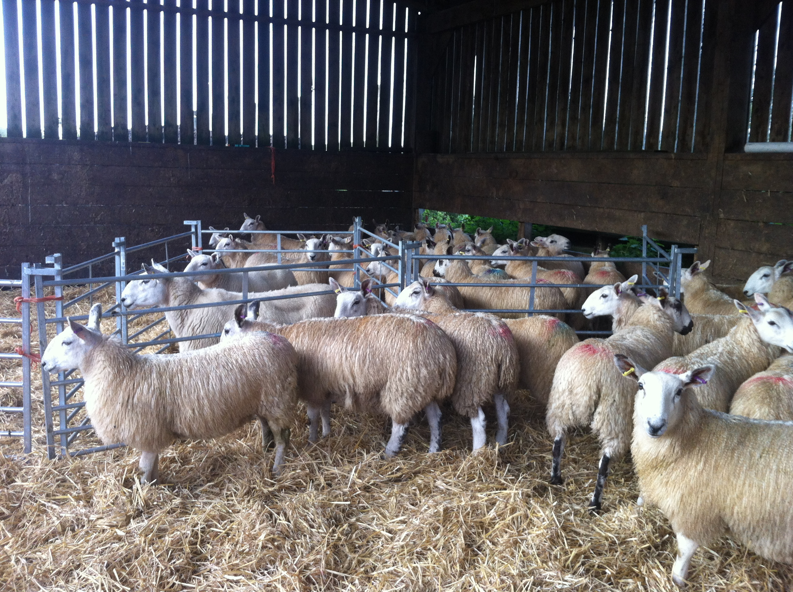 Dodgson Wood Nibthwaite Grange Farm Cheviot mule sheep