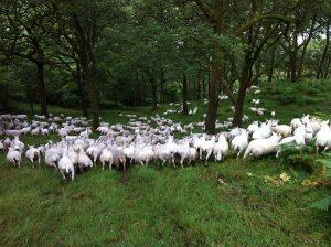 Dodgson Wood Nibthwaite Grange Farm Cheviot sheep