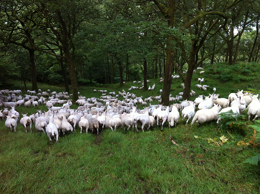 Dodgson Wood Nibthwaite Grange Farm Cheviot sheep