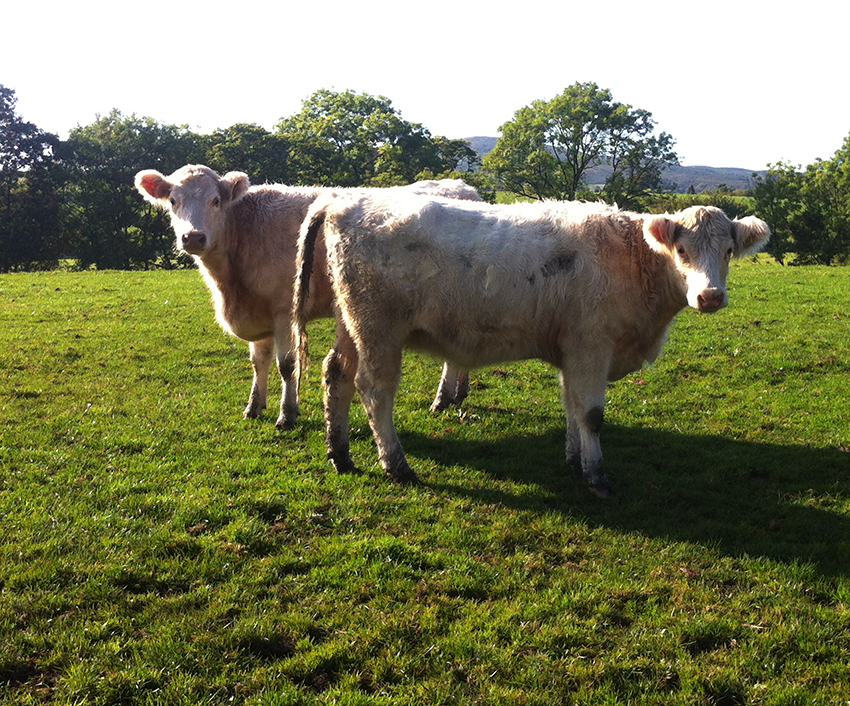 Dodgson Wood Nibthwaite Grange farm Whitebred Shorthorn cows