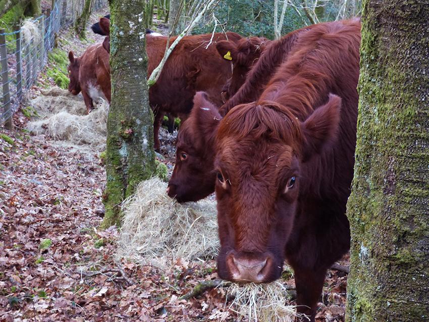 Dodgson Wood Nibthwaite Grange farm Luing cows