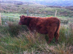 Dodgson Wood Nibthwaite Grange farm Luing calf