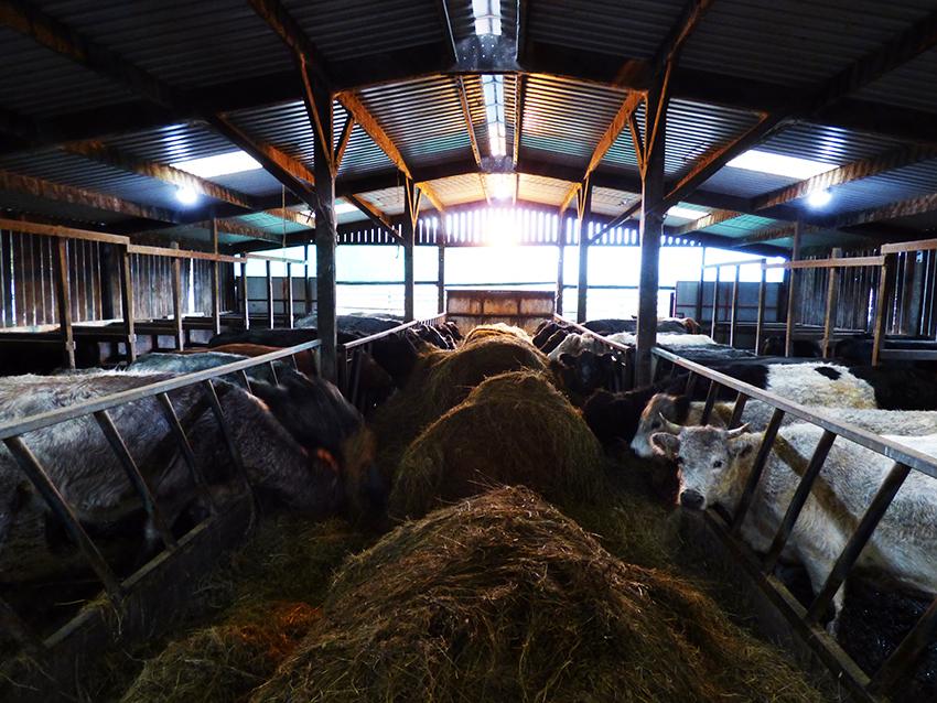 Dodgson Wood Nibthwaite Grange farm cattle
