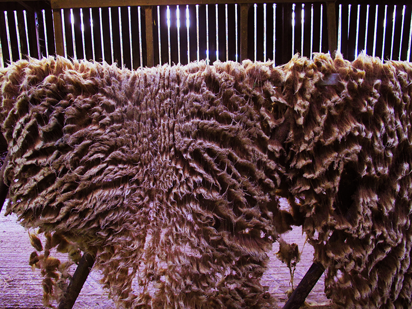 Dodgson Wood Shear Delight raw fleece