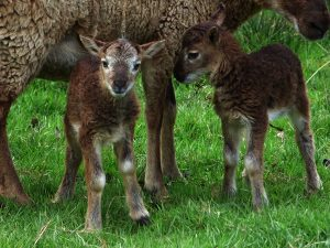 Dodgson Wood - Castlemilk Moorit sheep